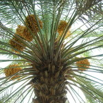 Date palm with fruit