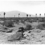 Group of twelve palm trees lined across the horizon in the Colorado Desert, northeast of Palm Springs near Indio, ca.1904